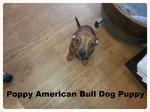 Poppy, American Bull Dog Puppy